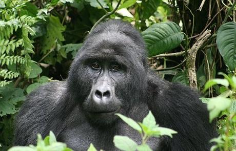 uganda-gorillas1